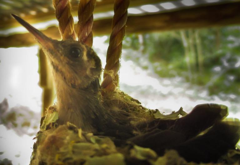 colibri en su nido